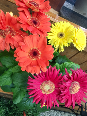 Potted Gerbera Daisy Outdoor Planter