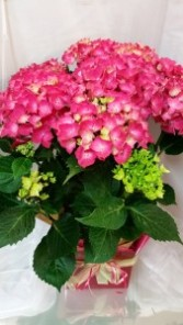 Potted Hardy Hydrangea Seasonal  Product