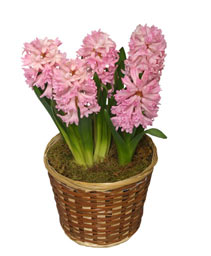 POTTED HYACINTH 6-inch Blooming Plant