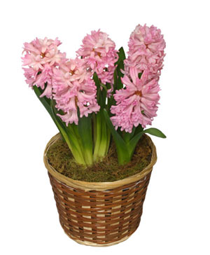 POTTED HYACINTH 6-inch Blooming Plant in Peterborough, ON | PAMMETT'S FLOWER SHOP