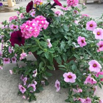 Potted In Pink potted flowers