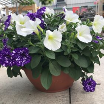 Potted In Purple potted flowers