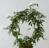 Potted Jasmine Wreath wrapped with a bow