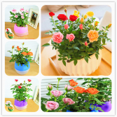 Potted Mini Roses color may vary