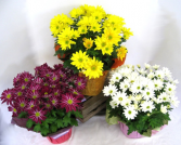 potted mums color may vary