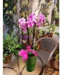 POTTED ORCHID Double stems orchid in ceramic pot