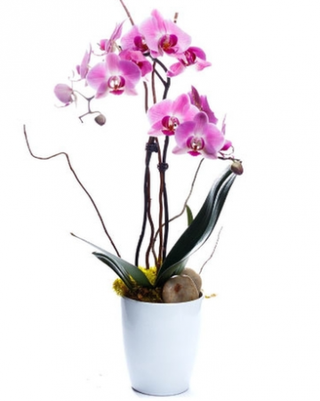 Potted Orchid Orchid Plant