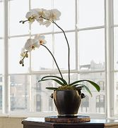 Potted Orchid Plant $55.95, $65.95, $75.95
