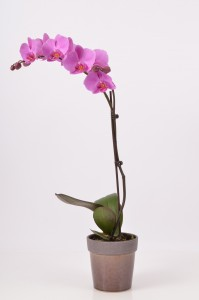 Potted Orchid Plant in Clearwater, FL | FLOWERAMA