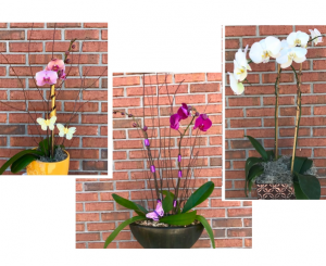 Potted Orchid Plant in Melbourne, FL | VIOLETS IN BLOOM