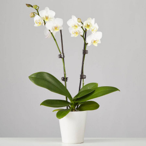 Potted Orchid Plant  in Lagrange, GA | BY SPECIAL ARRANGEMENT