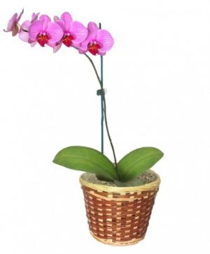 POTTED ORCHID PLANT Blooming Plant in Sunrise, FL | FLORIST24HRS.COM