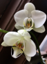 Potted Orchid Plant  Phalaenopsis hybrid