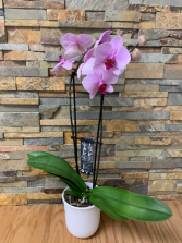 Potted Orchid Potted Plant