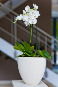 Potted orchids  Potted Plants  in Oakville, ON | ANN'S FLOWER BOUTIQUE-Wedding & Event Florist
