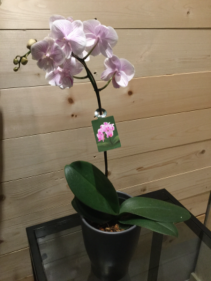 Potted Phalenopsis Orchid