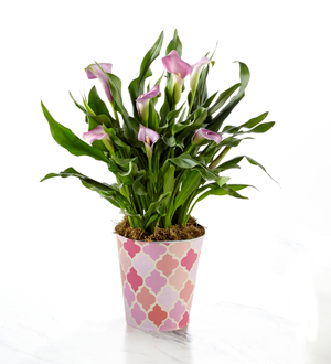 Potted Pink Calla Lily .WGP1322-N