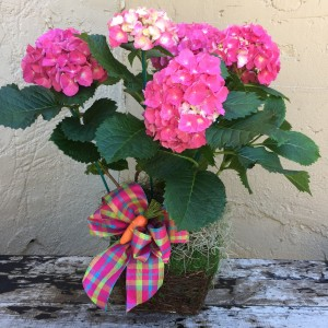 Potted Pink Hydrangea Blooming Plant