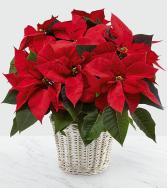 Poinsettia A Christmas Tradition