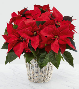 Poinsettia A Christmas Tradition   in Sudbury, ON | BELLA FLORA