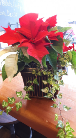 Potted Poinsettia with Kalachoe and ivy   in Vernon, BC | SIMPLY BASKETS AND HARRIS FLOWERS