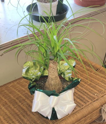 Potted Ponytail  Plant