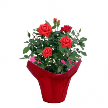 potted roses color may vary