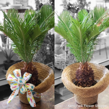 Potted Sago Palm Plant