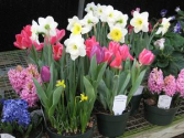 POTTED SPRING BULB PLANTS