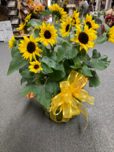 Potted Sunflowers Plant