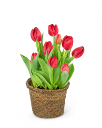 Potted Tulip Plant Plant