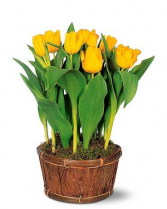 Potted Yellow Tulips Plant
