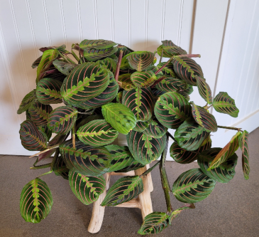"Prayer Plant 6"" pot with basket (stand not included)"