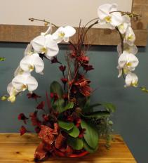 Premium Fancy orchid plant Orchid Plant