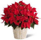 PREMIUM LARGE  RED POINSETTIA