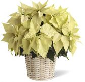 PREMIUM LARGE WHITE POINSETTIA