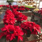 Premium, Locally Grown Awesome Poinsettias! Christmas