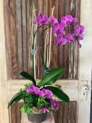Premium Orchid   in New Braunfels, TX | Petals To Go