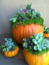 Premium Pumpkin Succulents