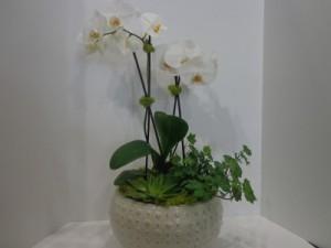 Premium White Phalaenopsis Orchid  in Salt Lake City, UT | GALLERIA FLORAL & DESIGN