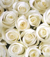 Premium White Roses Available in Half Dozen, Dozen and Two Dozen
