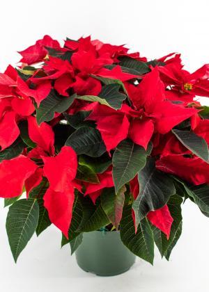 Prestige Red Poinsettia - Pre-Order Available November 28th in Burlington, VT   Kathy + Co Flowers
