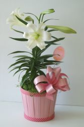 Pretty in Pink - Easter Lily Arrangement B27-4429