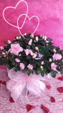 Pretty in Pink Azalea