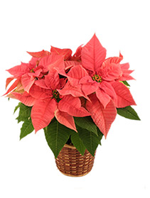 Pretty in Pink  Poinsettia