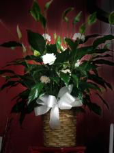 Pretty Plentiful Peace lily Peace lilly