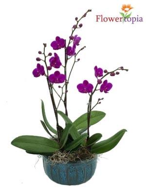 Pretty Purple Mini Orchid Plant in Miami, FL | FLOWERTOPIA