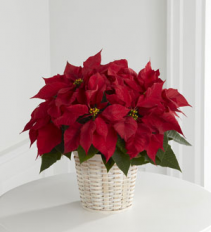 Priceless Pointsettia  Blooming Plant