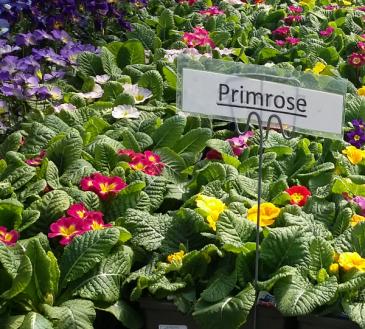Primrose Perennial - Full sun - light shade