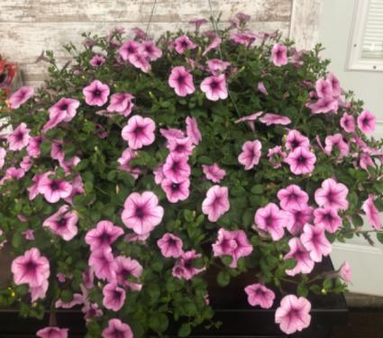Proven Winners Supertunia Trailing Rose Full Sun Hanging Basket